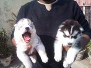 Import Quality Siberian Husky for Sale