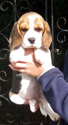 adorable show quality BEAGLE puppies for sale.trust kennel