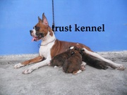 adorable show quality BOXER puppies for sale.trust kennel