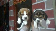 TOP IMPORT BEGLE PUPPY FOR SALE