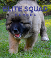 Caucasian Shepherd  puppies for SALE - India - ELITE SQUAD KENNEL