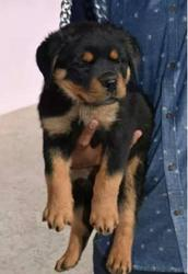Rott puppy for sale in kannur