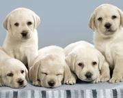 Taskeen Kennel Labrador Pups Available For Sale