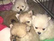 Toy Pom Pups Golden Colour For Sale Taskeen Kennels