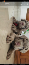 neapolitan-mastiff with  kci rate 70k